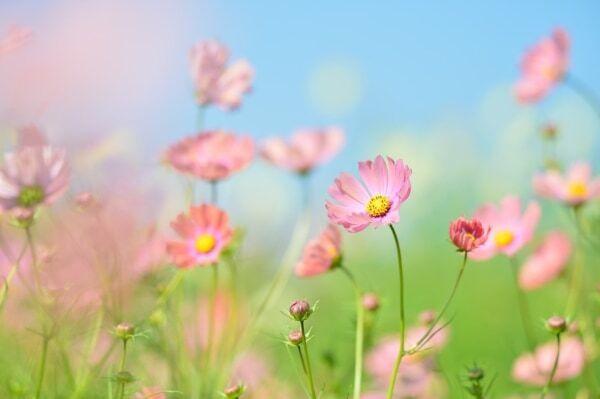 告白する時に「ピンクのコスモス」を贈るべき理由