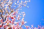知ってる? 庭に「梅」を植えている家庭が多い理由