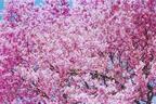 """代官山で蜷川実花の""""桜""""写真展、自身のブランド販売も"""