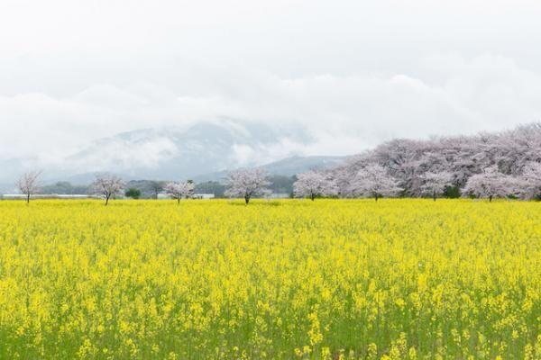 奈良を訪ねたのは4月初旬。平城京跡の近くに広がる菜の花畑。