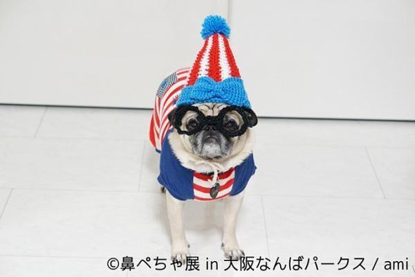 """""""ぶひかわ犬""""の写真展「鼻ぺちゃ展」&柴犬「巻きしっぽ展」大阪・なんばで同時開催"""
