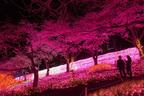神奈川「さがみ湖桜まつり2017」夜桜イルミネーション・約2500本の桜と600万球の光の競演