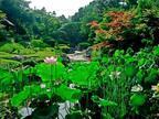 京都・妙心寺退蔵院で夏のお花見「蓮見の会」