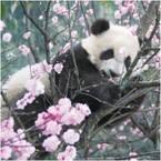 「パンダ写真展」松坂屋上野店で、シャンシャンの記録写真など60枚が集結 - パンダグッズ約200点も
