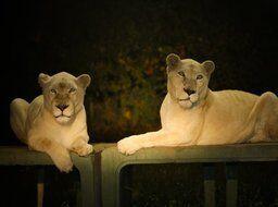 「ナイトサファリ」暗闇から現れる野生動物&草食動物にエサやり体験、那須サファリパークで