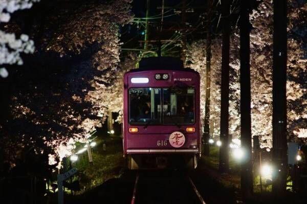 """京都・嵐電「夜桜電車」が運行、約200mにわたる""""桜のトンネル""""を車窓から眺めて"""