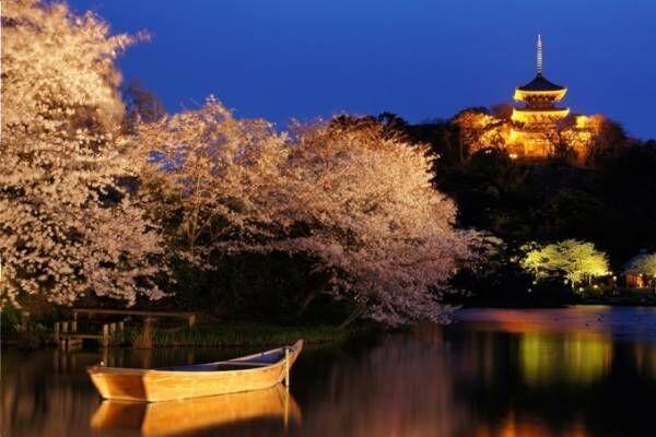 横浜・三溪園で「観桜の夕べ」開催、ライトアップされた三重塔を背景に夜桜を楽しむ