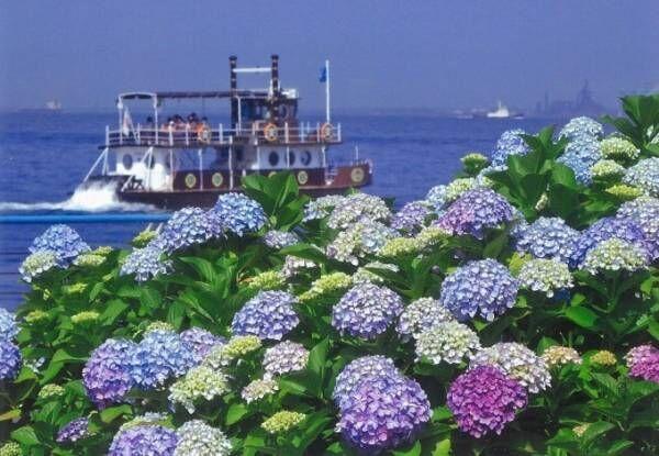 「八景島あじさい祭」海に囲まれた八景島に2万株のあじさい、竹灯籠のライトアップも