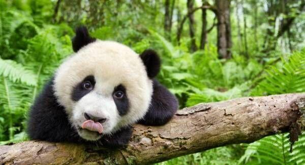 ドキュメンタリー映画『アース:アメイジング・デイ』自然を生きる絶滅危惧種動物やパンダなどの貴重な姿