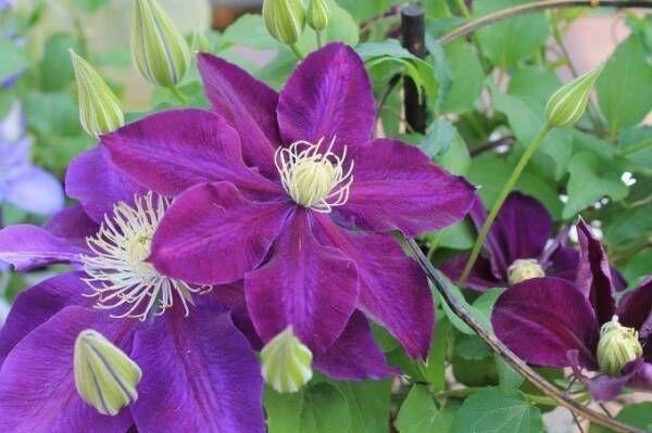 「春の花々とクレマチス展」池袋・サンシャインシティで、珍しい品種など約100種のクレマチスが集結