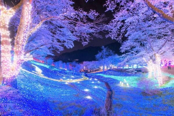 関東最大級2,500本の桜に包まれるお花見イベント「さがみ湖桜まつり」夜桜×光の競演も