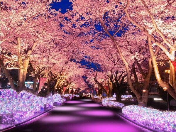よみうりランド「夜桜ジュエルミネーション」桜並木に宝石色イルミネーション、ジェットコースター花見も