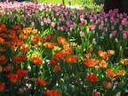 「ガーデンネックレス横浜 2019」開催、山下公園や里山公園にチューリップ&桜が咲き誇る