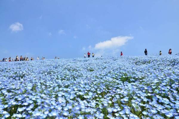 """茨城・国営ひたち海浜公園、春の絶景「ネモフィラ」約450万本の""""青い絨毯""""が一面に"""
