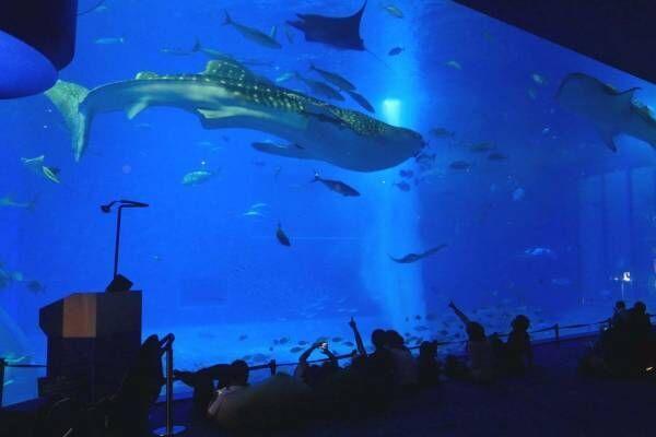 """沖縄美ら海水族館「美ら海ナイトアクアリウム」ジンベエザメたちが泳ぐ""""神秘的な海""""、生演奏を聴きながら"""