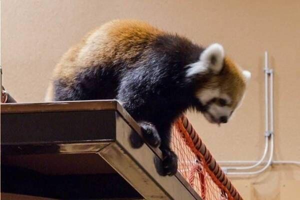 """「夜の動物園」静岡市立日本平動物園で""""レッサーパンダ""""などの夜の姿を観察、イルミネーションも"""