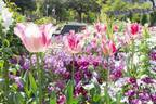 「ガーデンネックレス横浜」花と街歩き、みなとみらいの桜並木やバラ主役のイベント - 山下公園などで