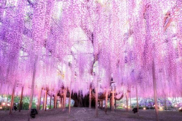 栃木・あしかがフラワーパーク「ふじのはな物語」大藤棚や白藤のトンネルなど350本以上の絶景