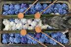 京都最大規模の約5,000株が咲き誇る「あじさいウイーク」長岡京の柳谷観音で開催、限定朱印の授与も
