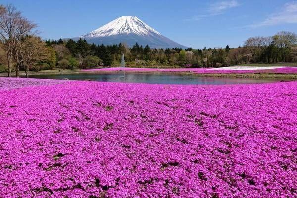 「富士芝桜まつり」約52万株の芝桜が彩る一面ピンクの景色、ご当地B級グルメフェアも