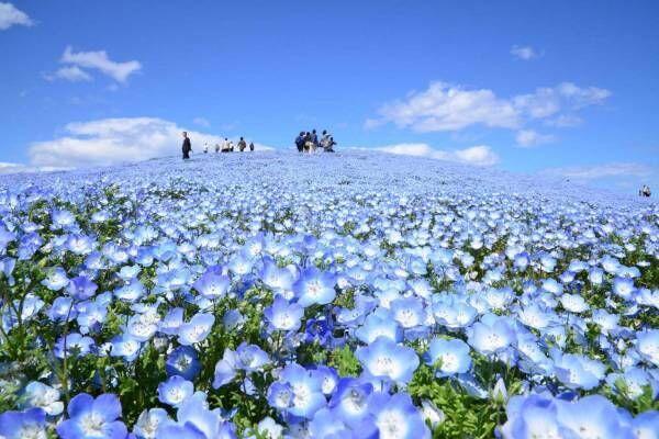 """茨城・国営ひたち海浜公園、春の絶景「ネモフィラ」約530万本の""""青い絨毯""""が一面に"""