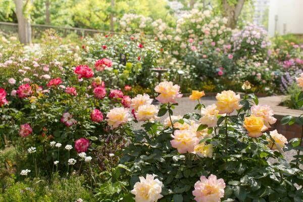 """四季の香ローズガーデン""""約320品種の秋バラ""""が咲き誇る「オータム フェスティバル」東京・光が丘で"""