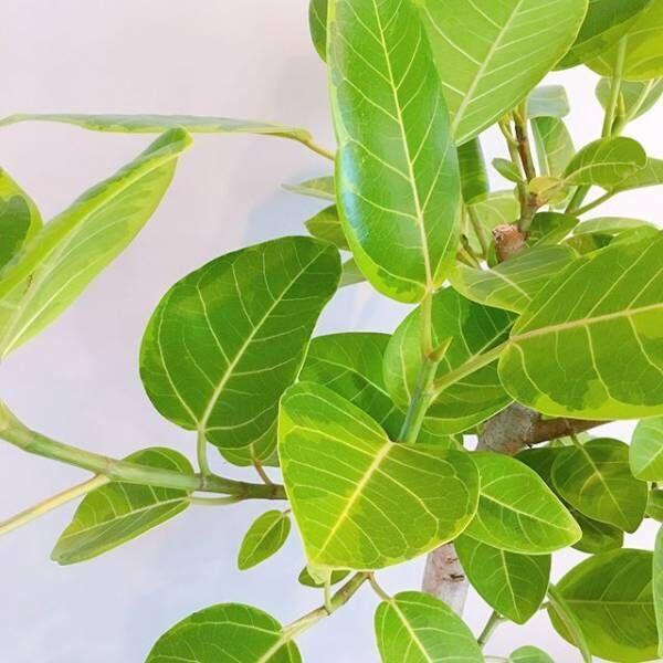 お部屋に力強くナチュラルな魅力を♪インテリア人気の高い観葉植物「ゴムの木」をご紹介