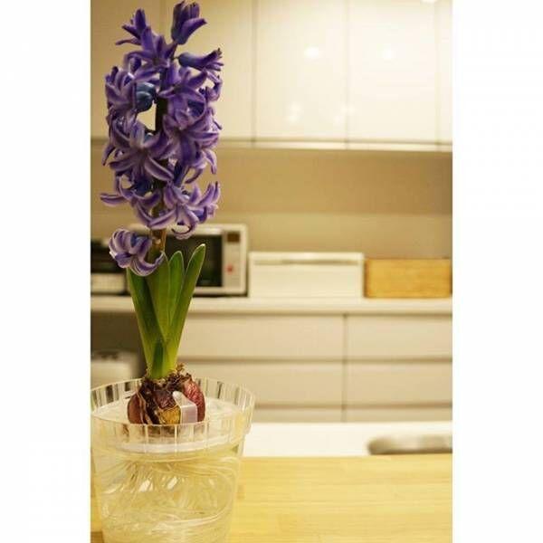 春の代表的な花!ヒヤシンスをお部屋に飾って季節感を取り入れよう♪