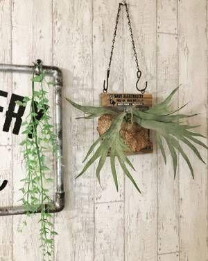 おしゃれなお部屋のマスト植物!コウモリランを飾ってみよう♪
