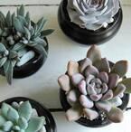 まるでお花のよう♪ナチュラルでエレガントな魅力漂う多肉植物「エケベリア」をご紹介