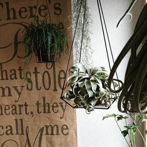 カールした葉がおしゃれなエアープランツ「チランジア」