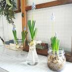 凹凸がかわいい♪水耕栽培もできるムスカリをインテリアに取り入れよう