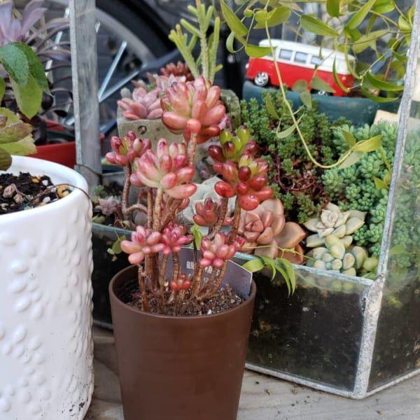 ダイソー 観葉植物2