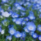 【ネモフィラの花言葉】小さな青い花に込められた素敵な意味を解説