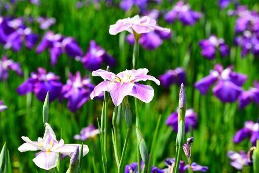 【アイリスの花言葉】「虹の女神」が由来の花を種類別・色別に解説