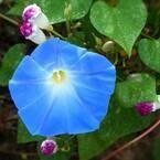 【朝顔(アサガオ)の花言葉】朝の美人の顔と言われる花の意味を解説