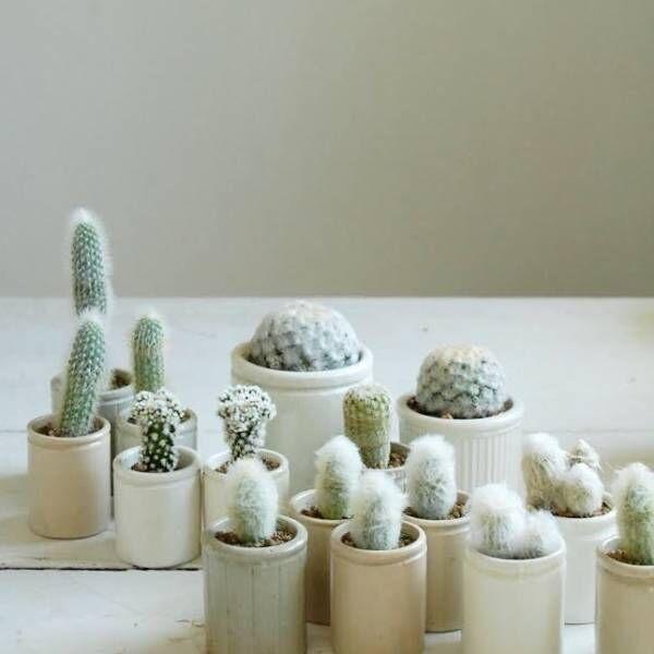 根強い人気を誇る多肉植物の定番「サボテン」2