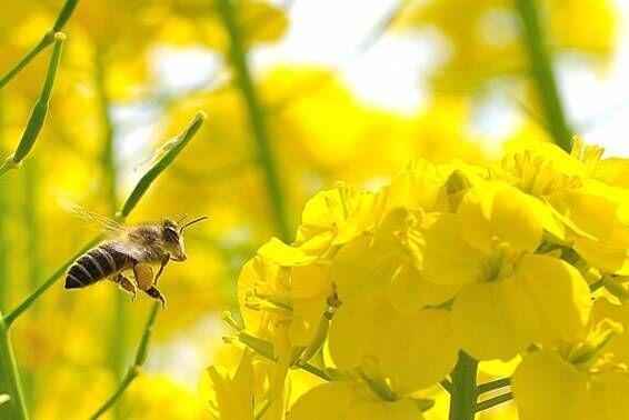 ミツバチってやっぱり凄い!海外セレブにも話題の「アピセラピー」って!?
