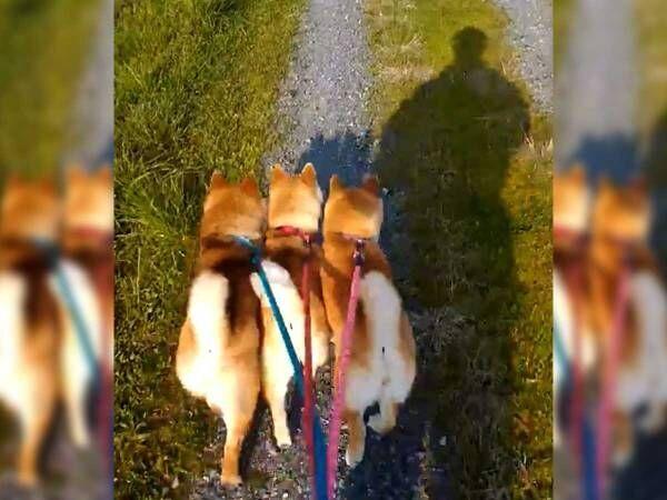 散歩に出かけた3匹の柴犬 飼い主が撮影した『動画』が、ネットで大反響