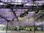「またか…」 樹齢600年の藤の花が刈り取りへ 理由に憤りの声