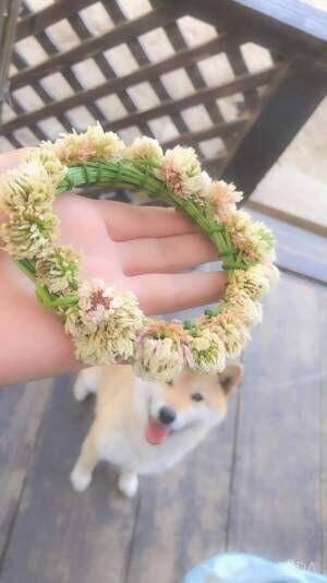 「吹いた」「これは予想外」 飼い主が作った『花かんむり』を見た柴犬が…