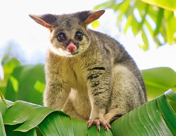 「ピカチュウ、ゲットだぜ!」 オーストラリアの獣医が本当に捕まえた!?