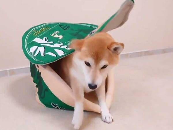柴犬に『カップ麺風ハウス』を与えたら…? 結果がこちらです