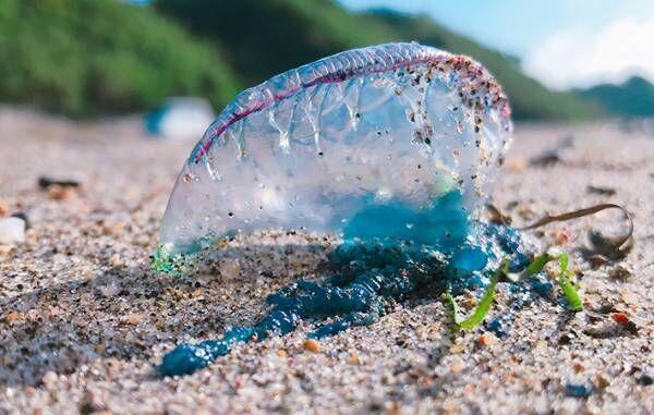 カツオノエボシとはどんな生き物?浜辺の青いビニール・ペットボトルは危険生物かも