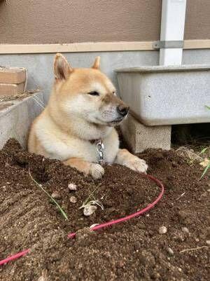 柴犬「ここが落ち着くんです」 説得力ありすぎな『1枚』が、コチラ