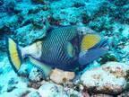 ゴマモンガラって知ってる? 『海のギャング』と呼ばれ、6~8月の産卵期は特に危険!