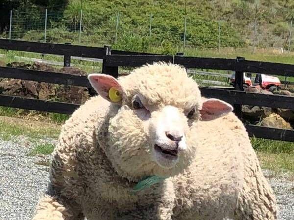 マッチョにしか見えない羊 体を見ると「呪いにかかってしまった」の声