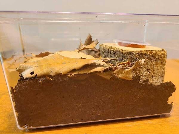 カブトムシの育て方を動画でチェック! 土や餌、水の上げ方など最適な頻度は?