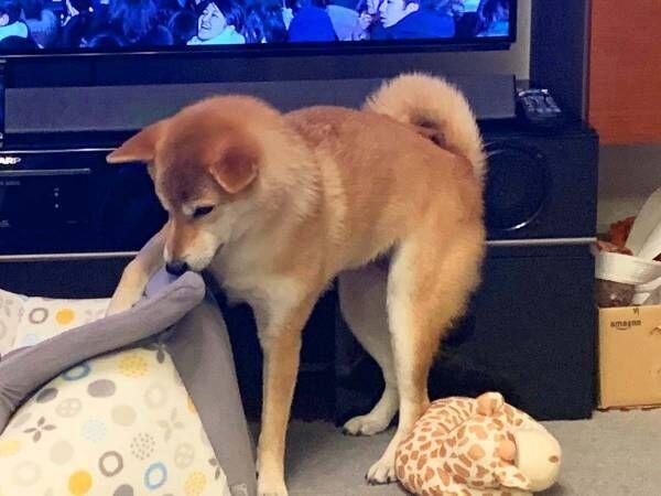 台風に備え、柴犬を家にしまおうとした飼い主 その結果に「笑った」「あるある」
