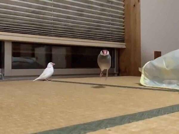 駆け寄る二羽の文鳥がかわいすぎ! スロー動画に癒される人続出!